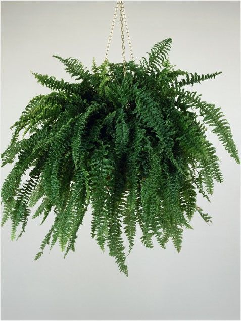 Boston Fern hanging plant that survives low sunlight in bathroom