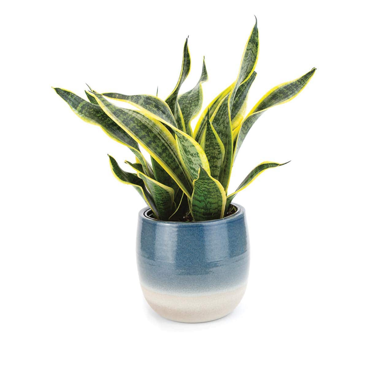 """Burpee Golden Snake Plant with with 6"""" Decorative Waterproof Ceramic Pot"""