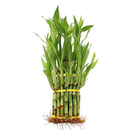 Live Lucky Bamboo 3 Tier Tower