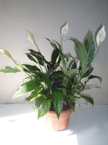 Big Peace Lily Live Plant Bouquet in a Six Inch Pot